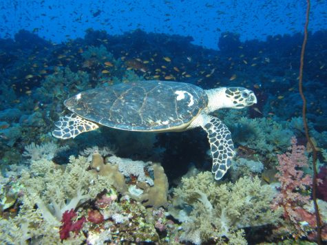 Hawksbill turtles are found in sandy nesting areas and around coastlines.